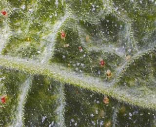 Cuidar das plantas o aranhi o vermelho - Araignee rouge traitement naturel ...