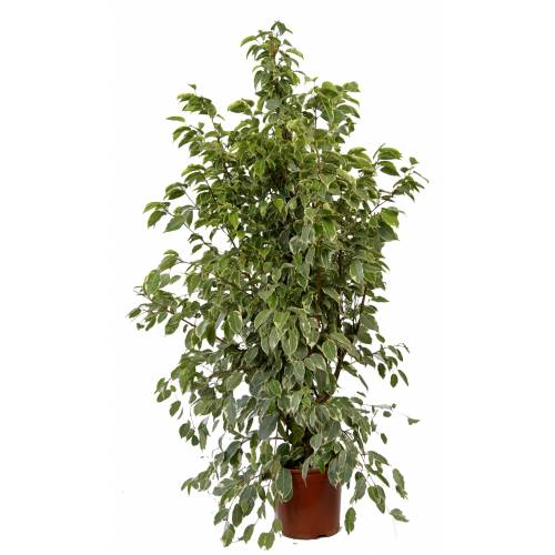 Ficus 39 Golden King 39 C21 Venda Ficus 39 Golden King