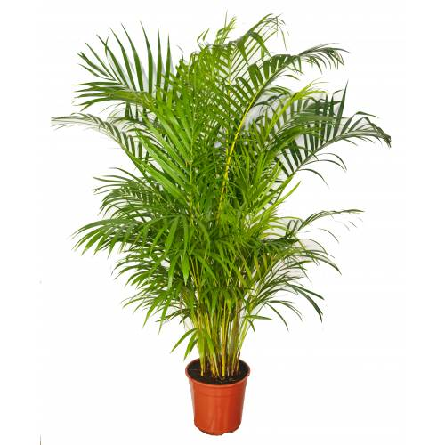 prar palmeira Areca C22 1071 PO