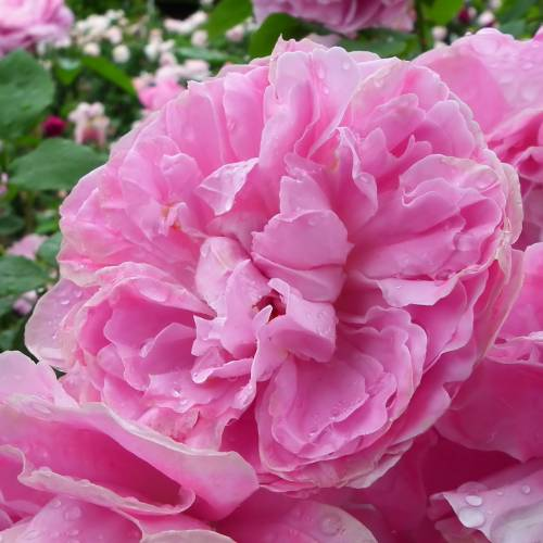 roseira 39 mary rose 39 venda roseira 39 mary rose 39 rosa. Black Bedroom Furniture Sets. Home Design Ideas