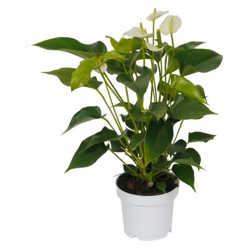 Plantas De Interior Comprar On Line Plantas De Interior - Flores-interior