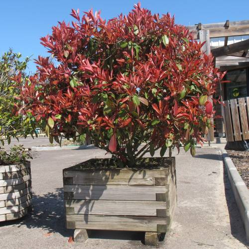 mybonsai fot nia photinia x fraseri. Black Bedroom Furniture Sets. Home Design Ideas