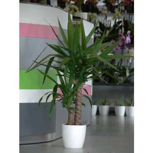 Planta de interior yuca 2 troncos cachep branco venda - Comprar plantas de interior ...