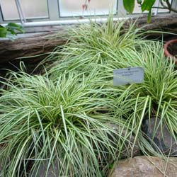 Carex 'Evergold'