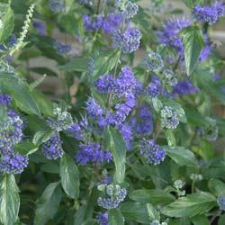 Caryopteris cl. First Choice