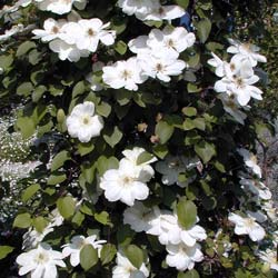 Clematite 'Mme Lecoultre'