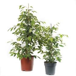 Ficus 'Golden King' - C21