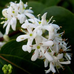 Heptacodium da China