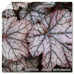 Heuchera 'Guardian Angel'