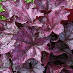 Heuchera 'Plum royale'