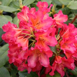 Rododendro 'Golden Gate'