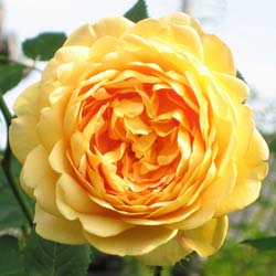 Roseira 'Golden Celebration'