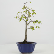 Bonsai Carpa europeia 5 anos
