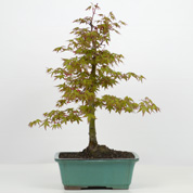 Bonsai Bordo do Japão 10 anos