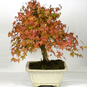 Bonsai Bordo do Japão 15 anos