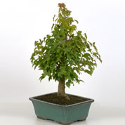 Bonsai Bordo tridente 10 anos