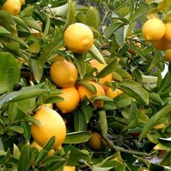 Frutas ex ticas e plantas c tricas venda online for Plantas exoticas online