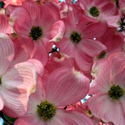 Cornus da Florida 'Cherokee Chief'