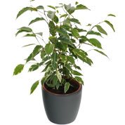 Ficus Golden King + Cachepô Antracite