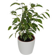 Ficus Golden King + Cachepô Branco