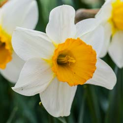Narciso de trombeta 'Barret Browning'