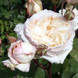 Roseira 'Baie des Anges'