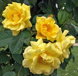 Roseira 'Golden Gate'