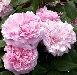 Roseira 'Jacques Cartier'