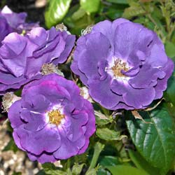 Roseira 'Rhapsody in Blue'