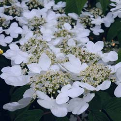 Viburnum da China